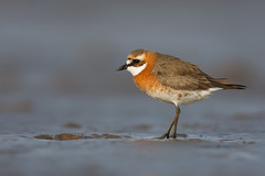 Lesser Sand Plover | mongolpipare | Charadrius mongolus
