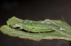 Tree Cricket (Oecanthus sp.)