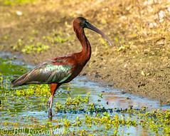 Sony A9,     Glossy Ibis,      ,DSC01744,   July 12, 2020,  1-1600 sec at f - 8.0,   ISO 1000      560 mm