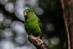 Toui tirica / Plain parakeet