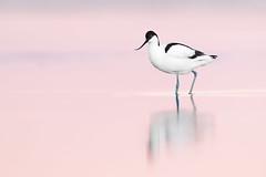 Recurvirostra avosetta | Pied Avocet | skärfläcka