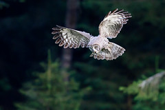 Strix nebulosa | Great Grey Owl | lappuggla