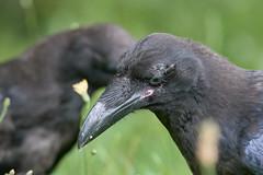 Raven Contemplation