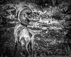 02469376423120310-127-20-08-Big Horn Sheep in Nevada-412-Black and White
