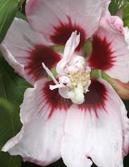 Pink Chiffon Hibiscus