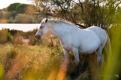 Cavallo Camargue alle Camargue