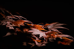 Japanese Maple turning ©2020 Lauri Novak