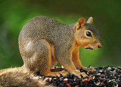 Fox Squirrel with Sunflower Seed Shell on his Lip