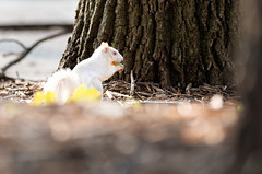 Albino Squirrel-1