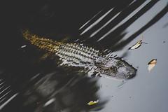 Congaree Alligator