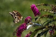 Swallowtail #2