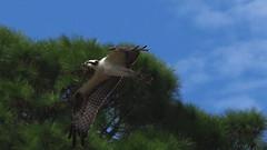 Osprey (juvi)