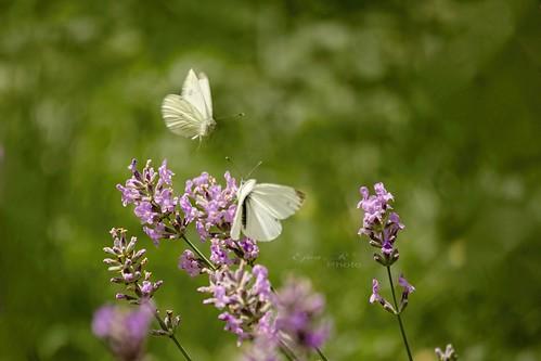 flower summer butterflies