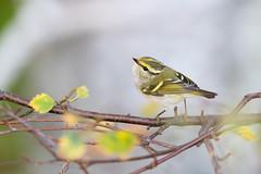Phylloscopus proregulus | Pallas's Leaf Warbler | kungsfågelsångare