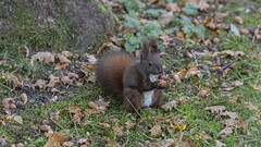 fressendes Eichhornchen - eating squirrel