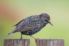 A walking starling - green background