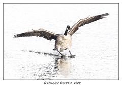 Hi-key Goose