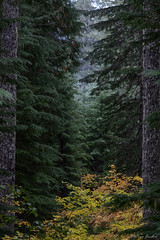 Autumn forest. Lewis River Road