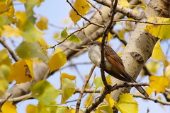 """Yellow-billed cuckoo - P1000-2 • <a style=""""font-size:0.8em;"""" href=""""http://www.flickr.com/photos/166641845@N05/50526105491/"""" target=""""_blank"""">View on Flickr</a>"""