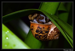 Petit-gris (Cornu aspersum)