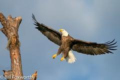 Bald Eagle ,    ,,   ,   ,  October 24, 2020-13