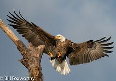 Bald Eagle ,    ,,   ,   ,  October 24, 2020-15