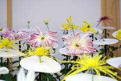 一文字菊と管物菊 Ichimonji chrysanthemum and tube chrysanthemum