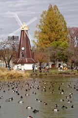 浮間公園の風車とカモの湖面 Ukima Park windmill and duck lake surface