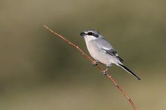 Southern Grey Shrike | ökenvarfågel | Lanius meridionalis meridionalis