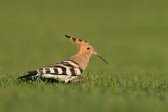 Upupa epops | Eurasian Hoopoe | härfågel