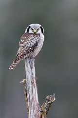 Surnia ulula | Northern Hawk-Owl | hökuggla
