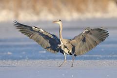 Ardea cinerea | Grey Heron | gråhäger