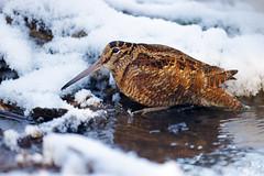 Scolopax rusticola | Eurasian Woodcock | morkulla