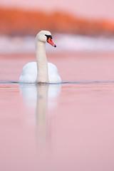 Cygnus olor | Mute Swan | knölsvan