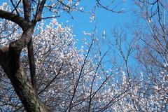 青い空に白梅 White plums were shining in the sky.