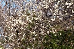 梅白し 誠に白く 新しく  Plum white, really white, new