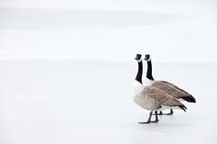 Branta canadensis | Canada Goose | kanadagås