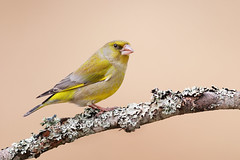Chloris chloris | European Greenfinch | grönfink