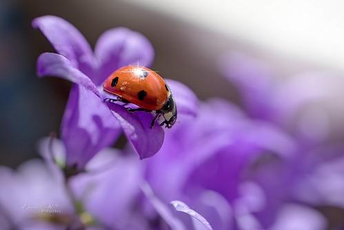 ladybug, spring macro,katicabogár, tavasz makró,