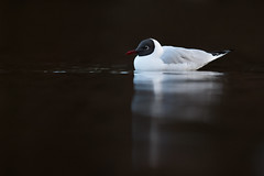 Chroicocephalus ridibundus | Black-headed Gull | skrattmås