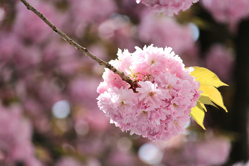 """Cherry Blossoms - Bonn, Germany • <a style=""""font-size:0.8em;"""" href=""""http://www.flickr.com/photos/104409572@N02/51152226351/"""" target=""""_blank"""">View on Flickr</a>"""