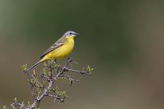 Motacilla flava | Western Yellow Wagtail | gulärla