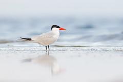 Hydroprogne caspia | Caspian Tern | skräntärna