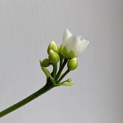 Venus Flytrap flower update