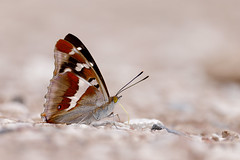 Sälgskimmerfjäril | Purple Emperor | Apatura iris