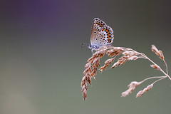 Ljungblåvinge | Silver-studded Blue | Plebejus argus
