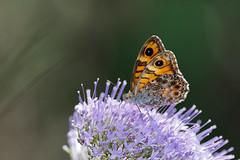 Svingelgräsfjäril | Wall Brown | Lasiommata megera
