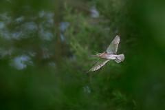 Numenius arquata | Eurasian Curlew | storspov