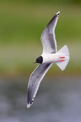 Hydrocoloeus minutus | Little Gull | dvärgmås