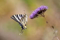 Segelfjäril | Scarce Swallowtail | Iphiclides podalirius